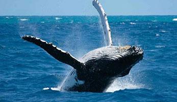 safaris baleine pendant la saison